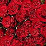 Ncient 50 Semillas de Rosa Roja Bonsai de Jardín Semillas de Flores Plantas Raras para Balcón Interior y Exteriores