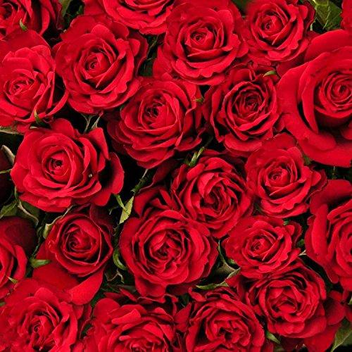 Ncient 50 pcs/Sac Graines Semences de Rose Couleur Rouge de Graines Fleurs Graines à Planter Plante Rare de Jardin Balcon Vivaces Belle Floraison Bonsaï en Plein Air pour l'Intérieur et l'Extérieur