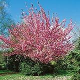 Prunus serrulata Kanzan auf Stamm - Japanische Nelkenkirsche