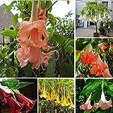 GEOPONICS SEMI: plantas 100PCS Fiore Brugmansia fiore raro vaso giardino colore misto impianto di decorazione