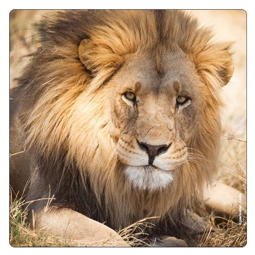 'Per Gatti Magneti da frigorifero 'Fiero leone–König degli animali'