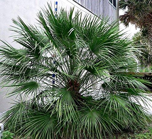 Tropicaflore - Chamaerops humilis - Pot de 5 litres ? 60/80 cm