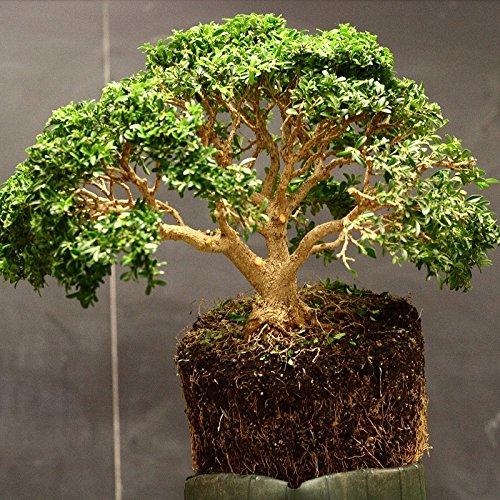 15 semillas Buxus sempervirens (boj común) Bonsai