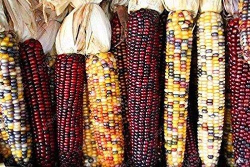 20 doux arc-en-maïs Semences de maïs grains colorés Céréales Graines de haute qualité des légumes pour jardin Facile à cultiver Livraison gratuite vert
