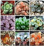61+dfq0jBPL. SL160  - Haworthia Cooperi, Succulente Translucide aux Airs de Bijoux - Plantes, Maison, Jardins, Déco, Amazon