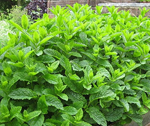 Moroccan Mint Mentha spicata Aromatic herb Plant Bees Butterflies Ground Cover 9cm Pot UK Free DELIVERY