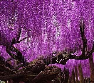 Flowers Perennial Garden Climbing Flowers Plants Hot Sale Rare Purple Wisteria FlowerSeeds for DIY Home Garden Plants Wisteria sinensis (Sims) Sweetseeds 15PCS