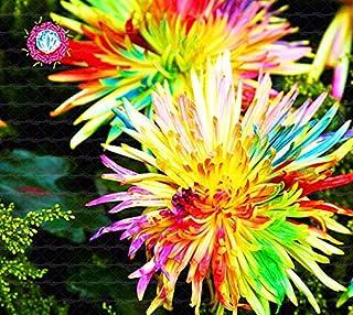 100 graines Dorotheanthus Bellidiformis ICE PLANT-Livingston Daisy Orange