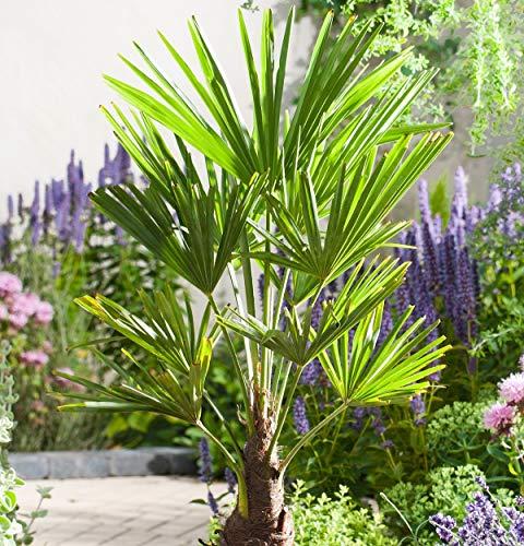 Frostharte Pflanzenrarität Trachycarpus latisectus Windamerpalme bis 100cm