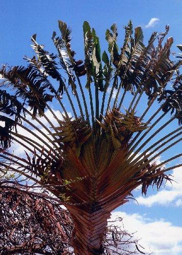 TROPICA - Arbre du voyageur (Ravenala madagascariensis) - 8 graines- Magie tropicale