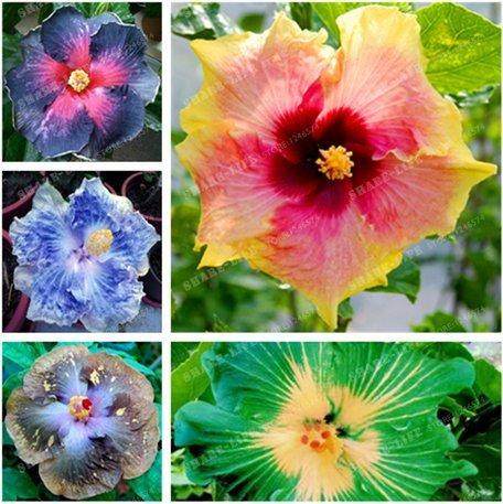 NewHibiscus Samen 14kinds chinesischer roseneibisch Blume 200+ Samen Hibiskus Baumsamen - Mix
