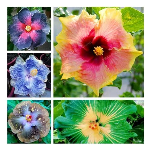Amazoncom Newhibiscus Seeds 14kinds Hibiscus Rosa Sinensis Flower