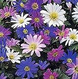Bulbos de Flores (10 X Anémonas blanda mix IDEAL)