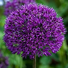 5 Dark Purple Allium Bulbs - Blooming Onion, Perennial Garden Flower - Fall Bulbs That Make Giant Round Purple Flowers