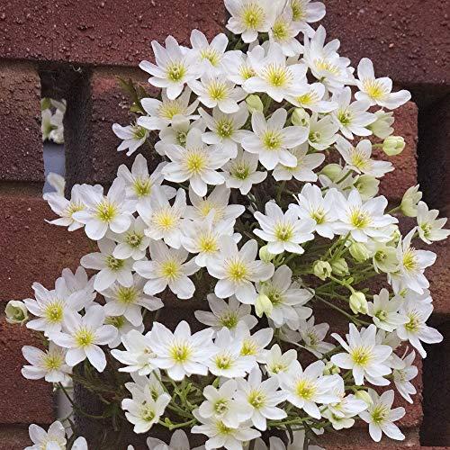 Clematis Rhizome,Geschenke Blumen Exoten...