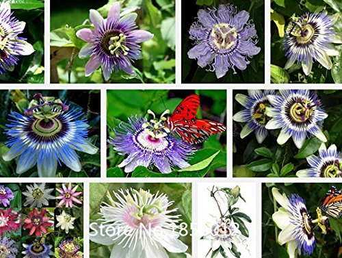 100Pcs Graines de fruits de la passion exotiques Purple Passiflora edulis Graines de fleurs de la passion Extérieur plante Plante Bonsai