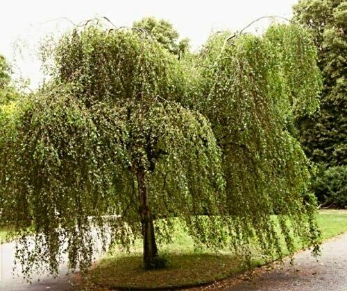 1000 Hängebirke Samen, Sandbirke, Betula pendula, ideal als Bonsai, Baum des Jahres 2000