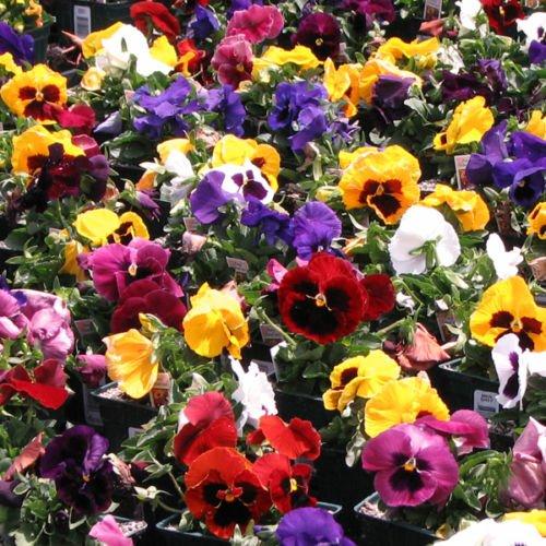 Nouveau PENSÉE SWISS GÉANTS semences début Blooms 9 Couleurs Conteneurs Jardin Graines de couvre-sol