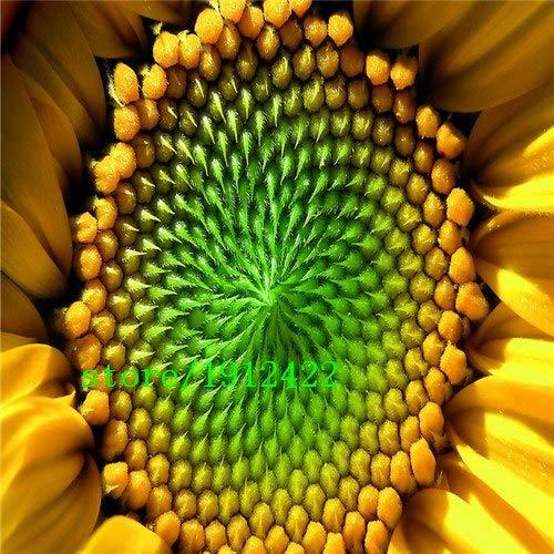 Bloom Green Co. 50 mini graines de tournesol graines de tournesol nain hauteur série de tournesol 100cm Graines de fleurs: Jaune