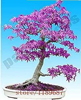 NaisiCore Semillas púrpura árbol de Arce japonés Bonsai Semillas de Flores Semillas de árbol en Maceta de Plantas para el ...
