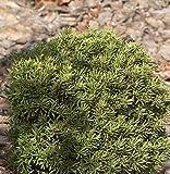Zwerg Kugeleibe Green Diamond 20-25cm - Taxus baccata