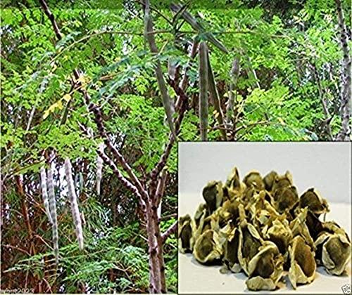 10 Piezas Moringa Semillas Palillo Plantación De árboles En El Patio Del Jardín Fácil De Germinar Fuerte Adaptabilidad Crecimiento Rápido Amado Por Los Jardineros