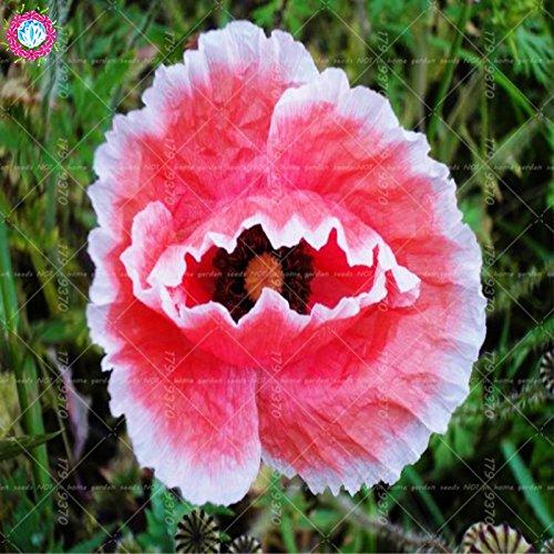 100pcs rouge de fleur de pavot graines Bonsai. Rare Papaver ORIENTALE graines en pot pour jardin maison décorée planting.semillas de flores 2