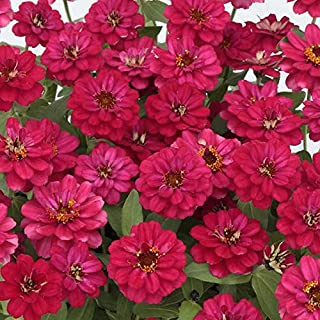 Park Seed Zinnia Profusion Double Hot Cherry Seeds