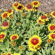 Best growing gaillardia from seed Reviews