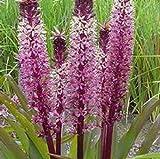 Eucomis 'Tugela Ruby' (Pineapple Lily) 1 Bulb- 9-11 Tropical Plant