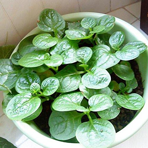 50 graines / pack SeedsAndPlants Jardin des Plantes, orange poivrons doux, Mohawk Poivron graines de légumes,