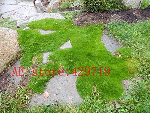 Schlussverkauf!!! 200 PCS Importierte Irish Moss Samen, Sagina Subulata Samen, EASY Samen für DIY Hausgartendekoration Zierpflanze GROW - Arcis New
