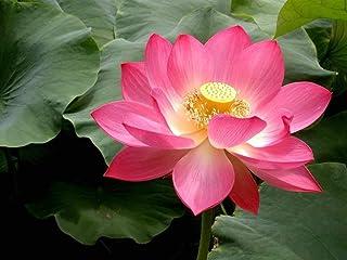 。花の種子:どれロータス赤い花Nelumboヌシフェラカマル/聖なるスイレンの種15個のSeeds の花の種子発芽ハイガーデン[ホームガーデンの種子エコパック 植物の種子