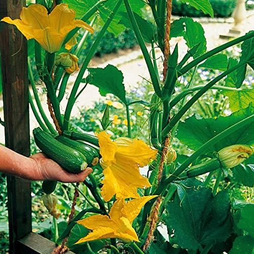 Ultrey Samenshop - 10 Stück Kletter-Zucchini Samen Bio Gemüsesamen Zucchinisamen Strauchpflanze winterhart mehrjährig für Garten Balkon/Terrasse