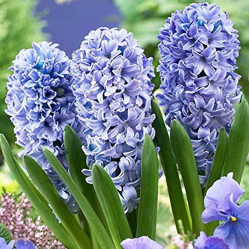 Blue Hyacinth Samen, 100Pcs Hyazinthe Samen Natural High Yield Compact Gesunde Non-GMO Gartenhyazinthe Samen für die ideale Outdoor-Garten Geschenk