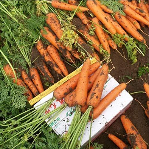 Portal Cool Chihiro Karottensamen Bio-Gemüsesamen Birnen Garten Sommer Frühling Einpflanzen