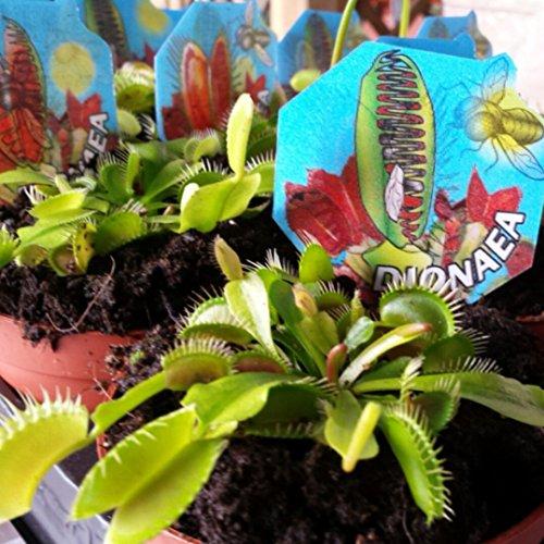 Venus Atrapamoscas - Dionaea - Maceta 9cm. - Planta viva - (