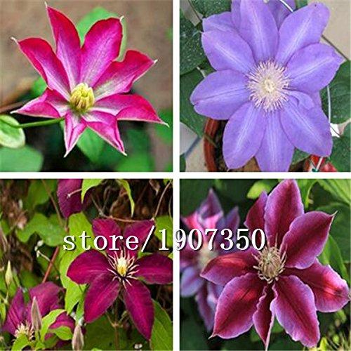Big vente Hot vente 100pcs mélange de graines de clématites bonsaï graines de fleurs de jardin de la maison DIY