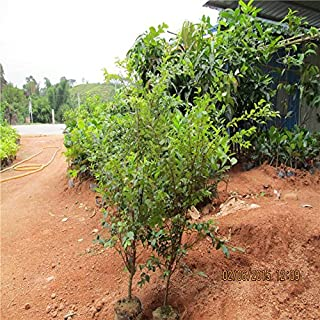 Las semillas de la fruta 30pcs brasileña árbol de uva Semillas Jabuticaba Crece frutas en su planta de jardín Decoración d...