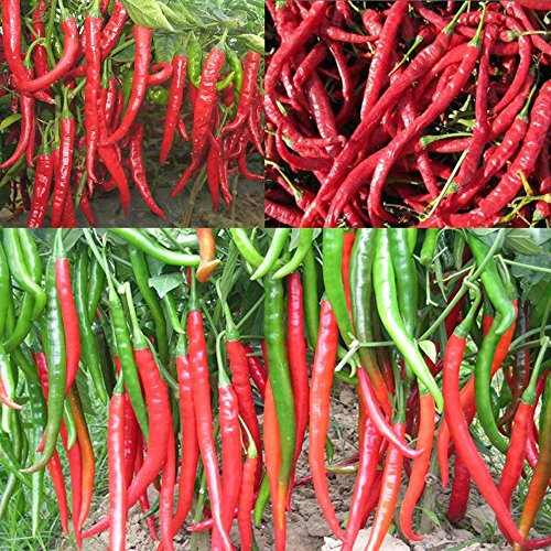 100 Spices géants Spicy Red Hot Chili Pepper Graines Plantes 20 \