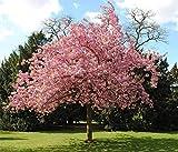 hua xian zi bonsai albero semi di sakura giapponese. semi di fiori di fiori di ciliegio giapponesi rari in bonsai, semi di Prunus serrulata 30 rosa