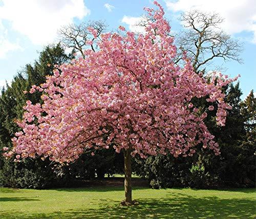 hua xian zi Bonsai Tree Japanese Sakura Seeds. Rare Japanese Cherry Blossoms Flowers Seeds in Bonsai,Pink Prunus Serrulata 30 Seeds