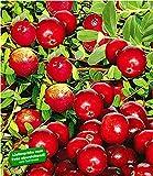 BALDUR Garten Cranberry-Beere, Moosbeere, 3 Pflanzen Vaccinium macrocarpon