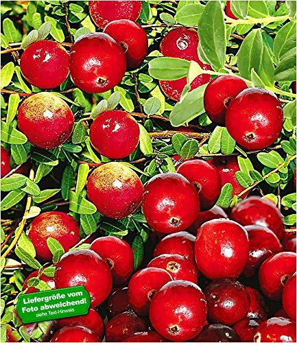 BALDUR-Garten Cranberry-Beere, Moosbeere, 3 Pflanzen Vaccinium macrocarpon