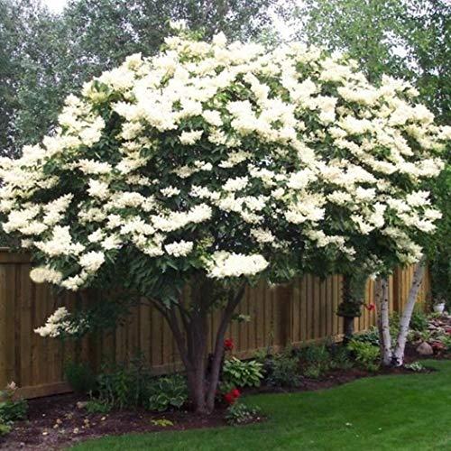 GETSO 200 PC/Beutel Weißer Flieder Bonsai Japanische Flieder (Extremely Fragrant) Nelke Blume Bonsai Flieder Bäume Außenanlage für Hausgarten: 100