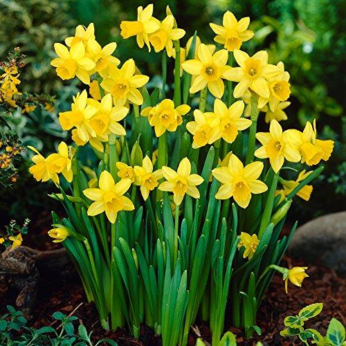 Mini-Narzissen-Zwiebeln Tête-à-Tête – Blumenzwiebeln Osterglocken - Mini-Narzisse - mehrjährig - 25 Narzissenzwiebeln von Garten Schlüter - Pflanzen in Top Qualität
