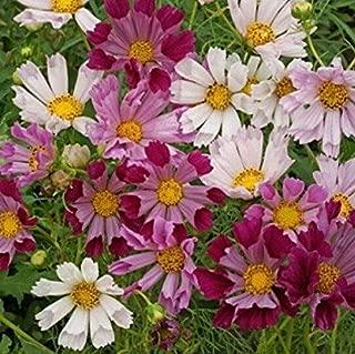 60 Seeds Cosmos Seashells Fresh Flower Seeds for Planting #SPM