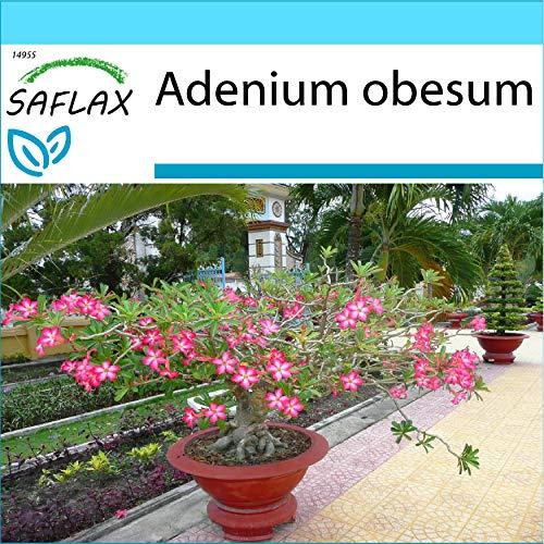SAFLAX - Set regalo - Rosa del desierto - 8 semillas - Con caja regalo/envío, etiqueta para envío, tarjeta de felicitación y sustrato de cultivo y fertilizante - Adenium obesum