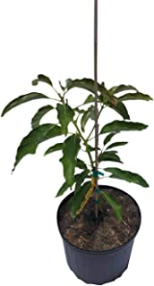 Lula Avocado Tree, Grafted, Cold Hardy, 3 Gal Container from Florida