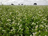 Buckwheat Seeds 3 lb Bulk Forage Food Plot Unhulled Cover Crop Whitetail Deer Green Goose Honey Bee Sprouts